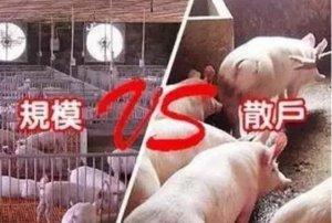 我是中国养猪散户!不懂我的,请别乱说..