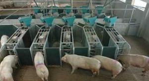 智能养猪设备将颠覆养殖行业