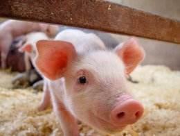 生料喂猪的八大注意事项!