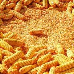 东北地区新产玉米累计收购9555万吨