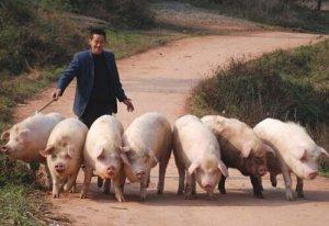 东渡镇全面开展散养生猪污染整治工作