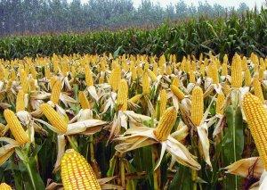 注意!国家泄库开始,玉米价格或将震荡调