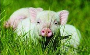 """养猪导致雾霾?这个""""黑锅""""我们养猪人背"""