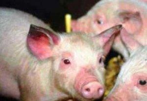 各种猪群感染蓝耳病的