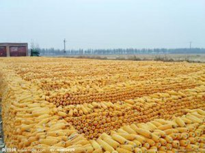 玉米拍卖传闻引发偏空