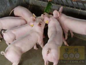 养好后备母猪、提高繁