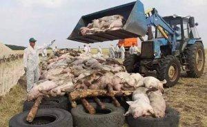 农业部发紧急通知,要求各地严防非洲猪瘟