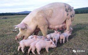 原来产房母猪的饲喂也有这般讲究,切莫忽视!