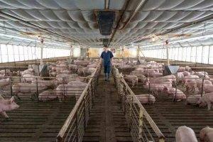 双汇旗下美国猪肉生产商Smithfield计划在猪身上培育人体器官