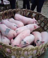 为减缓仔猪断奶后受到的刺激,在饲养管理上应重视以下几个方面