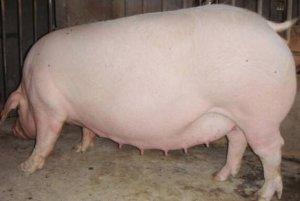 你家母猪有奶吗?母猪泌乳量和采食量的关系