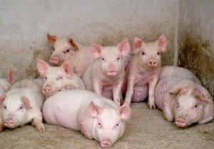 猪体温下降是何原因?如何救治?