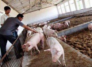 清拆猪场风起云涌,散户还能不能立足养殖