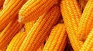 中储粮湖南8890吨玉米全部流拍,北京浙江