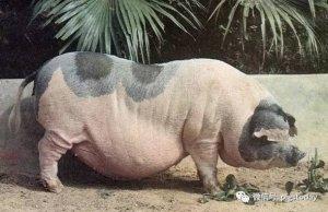 """""""舌尖上的土猪""""或许是一种保护地方猪种的方式"""