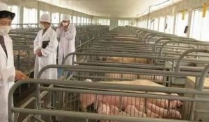 养猪赚不赚钱关键看生产的细节管理:分享管理细节的点滴经验
