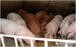 高温模式下的养猪三注意,看完不吃亏!