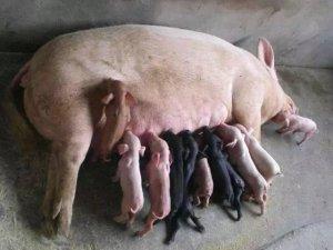 母猪喝白酒,效果出乎意料的好!