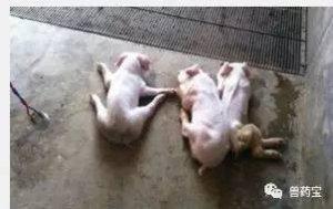 猪寄生虫病对养猪场有