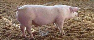 猪粪便就是污染源?禁养区就要一扫而光?