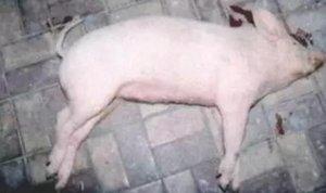 猪脑炎或脑膜炎性链球
