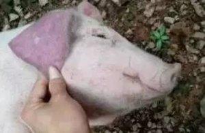 猪八种常见皮肤发紫的