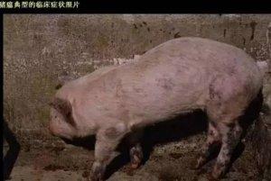 1分钟读懂猪瘟,有图