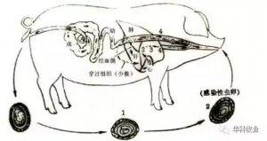 猪消化道寄生虫病的诊