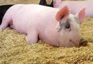 告诉你一个配制猪饲料的秘密!
