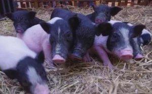 今日猪市走势分析:对于养猪人而言当下心