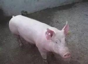 猪场大难题,治疗不孕