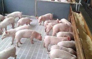 养猪必读!养好保育猪的关键五个字!