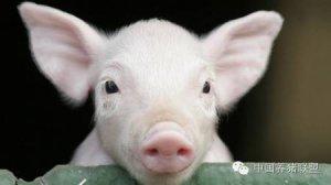 猪价正在探底,跌至去年来最低,仔猪价加