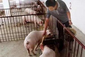 今日猪市评析:未来只要养殖户出栏理性