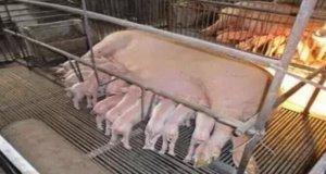 """减少母猪""""二胎综合征"""