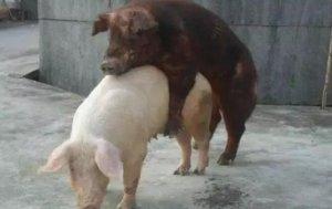 按摩法促母猪发情!学