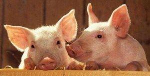 天气热,发烧不一定是猪病了