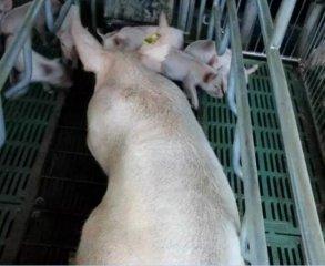 如何解决母猪繁殖性能