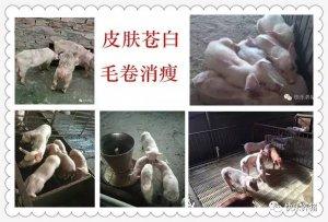 保育猪不好养,问题多,怎么办?