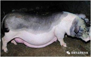 猪价行情持续低迷,我来告诉你如何实现高效养殖
