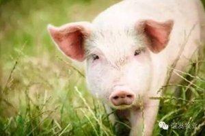 无需B超,教你只用肉眼观察就能判断出母猪大概产仔数