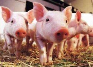 如何才能让断奶仔猪及时饮水、进食呢?