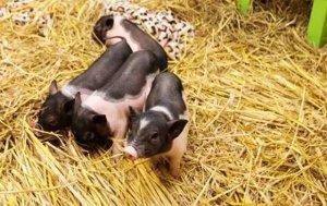 猪价崩盘跌到近两年的最低点,背后的内幕