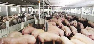 什么?!中国将为越南肉猪打开国门?