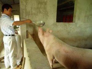 今日猪市走势分析:销售商 猪肉价格在降