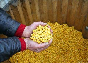 发酵玉米在猪禽饲料中优化成本最高可达178.5元/t!