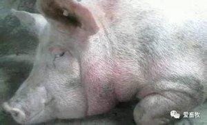 天气炎热,母猪热应激的紧急处理方法