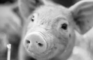 猪价太低了对谁都不是好事,牛猪消耗掉了