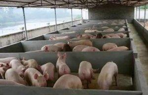 适度规模养猪模式真的这么好?