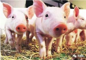 仔猪黄白痢的病因、症状及其防治!